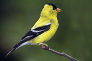 Finch Photos - American Golden Finch by William Lee