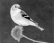 Goldfinch Drawings - American Goldfinch by Ana Tirolese