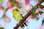 Blooming Digital Art Prints - American Goldfinch Print by Betty LaRue