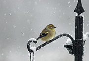 American Goldfinch Prints - American Goldfinch Print by Cindi Ressler