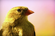 Macro Photograph Originals - American Goldfinch by Gordon Dean II