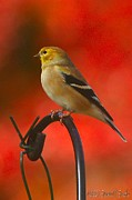 Susan M. Smith Photos - American Goldfinch I by Susan Smith