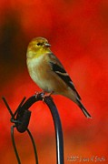 Goldfinch Digital Art Framed Prints - American Goldfinch II Framed Print by Susan Smith