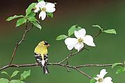 Goldfinch Framed Prints - American Goldfinch in Dogwood Framed Print by Alan Lenk
