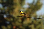 Spinus Tristis Prints - American Goldfinch on a Wire Print by Marjorie Imbeau