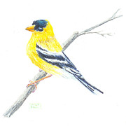 Goldfinch Drawings - American Goldfinch Sketch by Tina McCurdy