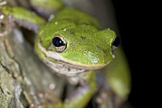 Tree Frog Prints - American Green Treefrog Print by Clay Coleman