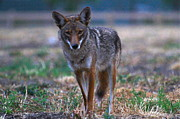 Canine Posters Photos - American Jackal by Paul Marto