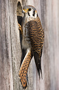 Animal Behaviour Art - American Kestrel Female At Nest Box by Sebastian Kennerknecht