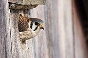 Animal Behaviour Art - American Kestrel Female Emerging by Sebastian Kennerknecht