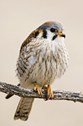 Mar1013 Framed Prints - American Kestrel Female Prairie Du Framed Print by Sebastian Kennerknecht