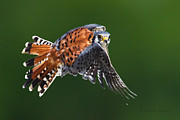 Dundas Paintings - American Kestrel In Flight by Michaela Sagatova