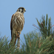 Falcon Metal Prints - American Kestrel Juvenile Metal Print by Ernie Echols