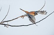 Y120831 Art - American Kestrel Take-off by Johann  Schumacher