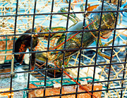 Netting Prints - American Lobster in trap in Chatham on Cape Cod Print by Matt Suess