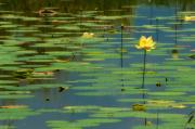 Fresh Green Framed Prints - American Lotus Framed Print by Rich Leighton