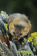 Tree Creature Prints - American Marten On Tree Stump Montana Print by David Ponton