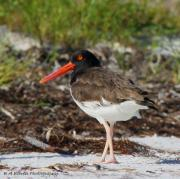 Catcher Originals - American Oyster Catcher by Barbara Bowen