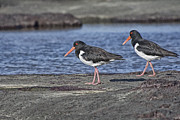 Oyster Art - American Oyster-catchers V2  by Douglas Barnard