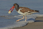 Animal Sports Posters - American Oystercatcher Grabs Breakfast Poster by Susan Candelario