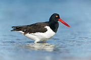 Creature Eating Framed Prints - American Oystercatcher I Framed Print by Clarence Holmes