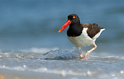 Oystercatcher Framed Prints - American Oystercatcher Framed Print by Mircea Costina Photography