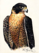 Hawk Drawings Framed Prints - American Peregrine Framed Print by Adesina Sanchez