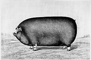 Biology Art - American Pig, 1890 by Granger