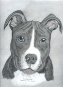 Bulls Drawings Posters - American Pit Bull Poster by Don  Gallacher