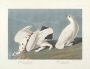 John James Audubon (1758-1851) Framed Prints - American Ptarmigan Framed Print by John James Audubon