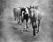 Quarter Horses Digital Art Framed Prints - American Quarter Horse Herd in Black and White Framed Print by Betty LaRue