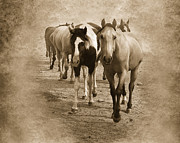 Quarterhorses Posters - American Quarter Horse Herd in Sepia Poster by Betty LaRue