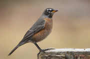Landmarks Originals - American Robin by Bonnie Barry