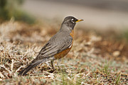 Art Museum Prints - American Robin in the Hood Print by James Bo Insogna