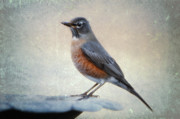 American Robin Posters - American Robin in Winter Poster by Bonnie Barry