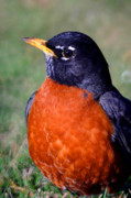 Feathered Prints - American Robin Print by Karol  Livote