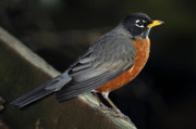 Feeding Birds Photos - American Robin by Laura Mountainspring