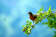 Thrush Framed Prints - American Robin Framed Print by Paul Ge