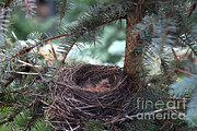 American Robin Photos - American Robin Nestlings by Ted Kinsman