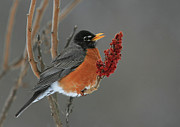 Thrush Prints - American Robin On Sumac Print by Bruce J Robinson