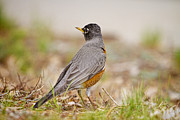 Office Space Prints - American Robin Portrait Print by James Bo Insogna