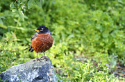 American Robin Photos - American Robin by Sharon  Talson