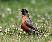 Wingsdomain Photo Posters - American Robin Poster by Wingsdomain Art and Photography