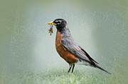 American Robin Posters - American Robin with Worms Poster by Betty LaRue