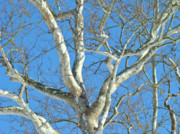 American Sycamore Prints - American Sycamore - Platanus occidentalis Print by Mother Nature
