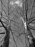 American Sycamore Prints - American Sycamore Black and White Print by Warren Thompson