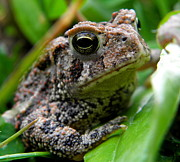 American Toad Print by Griffin Harris