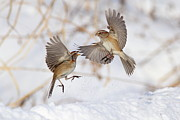 Fighting Photos - American Tree Sparrows by Alina Morozova