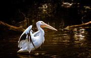 Fine American Art Digital Art Prints - American White Pelican Print by Bill Tiepelman