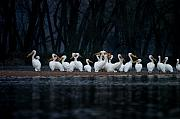 Water Bird Photos - American White Pelican by Jane Melgaard